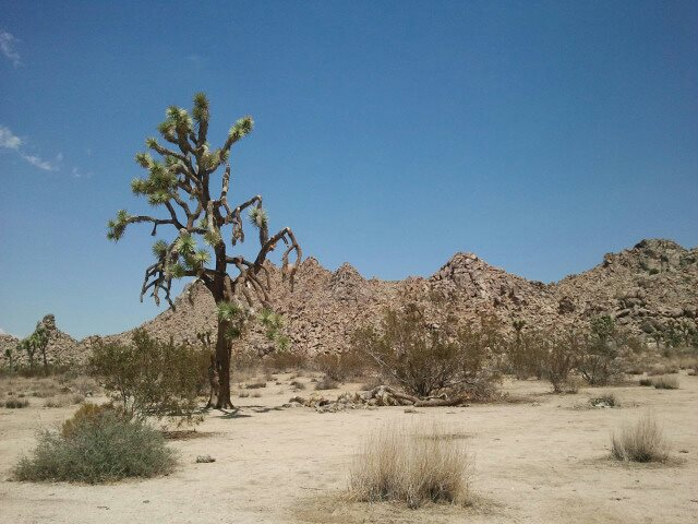 Joshua tree in California desert